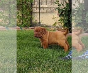 Dogue de Bordeaux Puppy for Sale in VERNAL, Utah USA