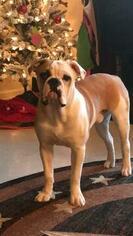 Medium Olde English Bulldogge