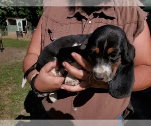 Basset Hound Puppy for sale in BEDFORD, IN, USA