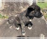 Puppy 2 Akita