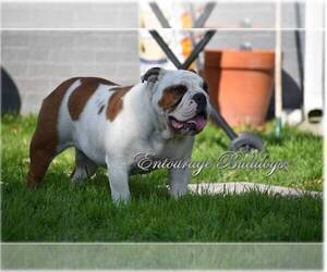 Bulldog Puppy for Sale in MESQUITE, Texas USA