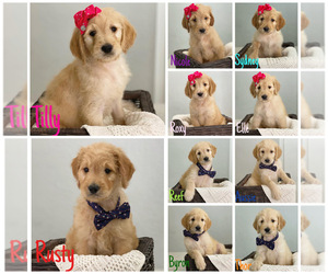 Goldendoodle Puppy for Sale in HILLSBORO BCH, Florida USA