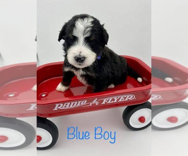 Medium Photo #2 Bernedoodle Puppy For Sale in ARAGON, GA, USA