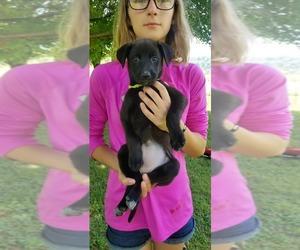 Dutch Shepherd Dog-Labrador Retriever Mix Puppy for sale in ASBURY, WV, USA