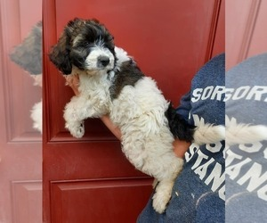 Aussiedoodle Puppy for sale in COTTAGEVILLE, SC, USA