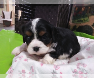 Cavalier King Charles Spaniel Puppy for sale in AKRON, OH, USA