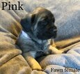 Small Photo #9 Mastiff Puppy For Sale in MANSFIELD, OH, USA
