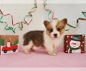 Pembroke Welsh Corgi Puppy for sale in CLARK, MO, USA