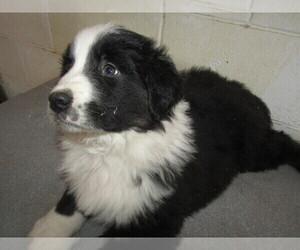 English Shepherd Puppy for sale in KALAMAZOO, MI, USA