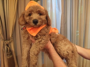 View Ad: Goldendoodle Puppy for Sale near Florida, MIAMI