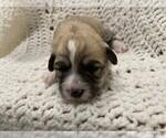 Puppy 2 Havachon