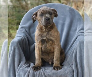 Cane Corso Puppy for sale in MYERSTOWN, PA, USA
