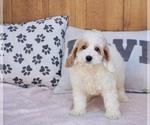 Puppy 1 Cockapoo-Poodle (Miniature) Mix