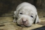 Weimaraner Puppy For Sale in TALKING ROCK, GA, USA