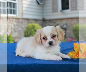 Cavachon Puppy for sale in BIRD IN HAND, PA, USA