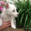 West Highland White Terrier Puppy For Sale in GAP, PA, USA