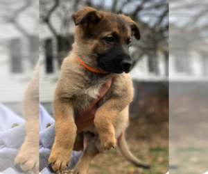 German Shepherd Dog Puppy for Sale in LIBERTY, New York USA
