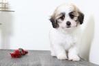 Trixie Really Pretty Female Teddy Bear Puppy