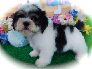 Zuchon Puppy For Sale in HAMMOND, IN