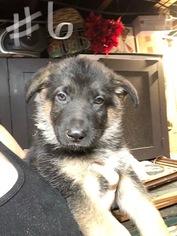 German Shepherd Dog Puppy For Sale in ROANOKE, VA, USA