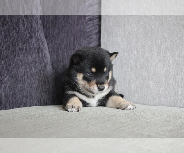 Medium Photo #2 Shiba Inu Puppy For Sale in DALLAS, TX, USA