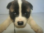 Akita Puppy For Sale in HUDSON, Michigan,