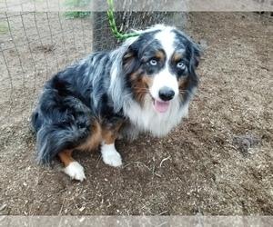 Australian Shepherd Puppy for sale in DUVALL, WA, USA