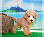 Image preview for Ad Listing. Nickname: Tiny Toy Poodle