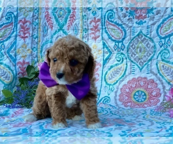 Medium Photo #2 Cavapoo Puppy For Sale in LANCASTER, PA, USA