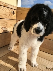 Poodle (Standard) Puppy For Sale in MINERVA, OH, USA