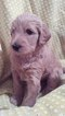 Goldendoodle Puppy For Sale in FORT LAUDERDALE, FL, USA