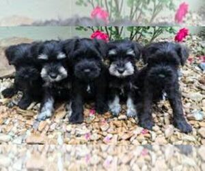 Schnauzer (Miniature) Puppy for Sale in OGDEN, Iowa USA