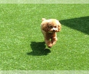 Poodle (Toy) Puppy for sale in LUTZ, FL, USA