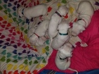 Dogo Argentino Puppy For Sale in WALDORF, MD, USA