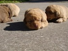 Chesapeake Bay Retriever Puppy For Sale in ASTOR, FL