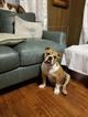 English Bulldogge Puppy For Sale in EAST HAVEN, CT, USA