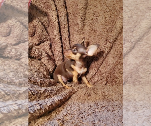 Medium Photo #2 Chihuahua Puppy For Sale in NOCONA, TX, USA