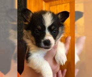 Pembroke Welsh Corgi Puppy For Sale in BELLEVUE, MI, USA
