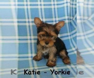 Yorkshire Terrier Puppy for sale in CLARKRANGE, TN, USA