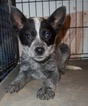 Australian Cattle Dog Puppy For Sale in BLACKFOOT, ID, USA