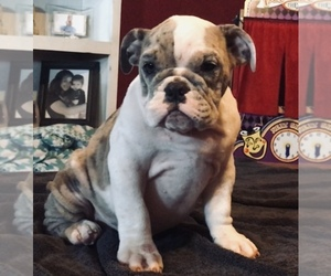 English Bulldog Dog for Adoption in ERIN SPRINGS, Oklahoma USA