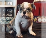 English Bulldog Puppy For Sale in ERIN SPRINGS, OK, USA