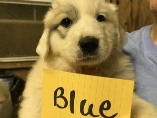 Great Pyrenees Puppy For Sale in CHRISTIANA, TN, USA