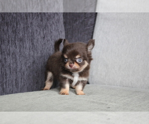 Chihuahua Puppy for sale in EMPIRE STATE, NY, USA