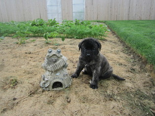 Mastiff Puppy For Sale in NEW HOLLAND, PA, USA