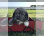 Small #3 Neapolitan Mastiff-Poodle (Toy) Mix