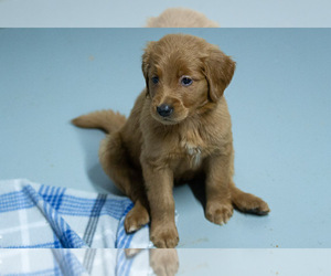 Goldendoodle Puppy for sale in S ZANESVILLE, OH, USA