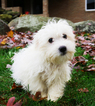 Coton de Tulear Puppy For Sale in KENT, OH, USA