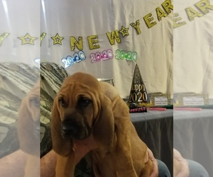 Bloodhound Puppy for sale in KENBRIDGE, VA, USA