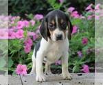 AKC Beagle For Sale Sugarcreek OH Female Haylie